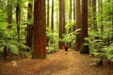 Fototapety Redwoods