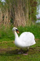 White swan in nature