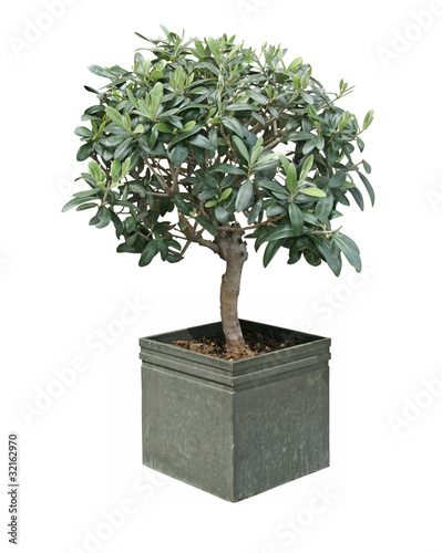 Papiers peints Bonsai oliviers bonsaï