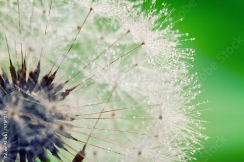 Keuken foto achterwand Paardebloemen en water Close-up of wet dandelion seed with drops