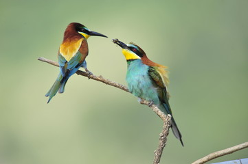Bee-eater,the marriage between