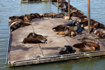 Sea-lions basking at a marina in Astoria Oregon.