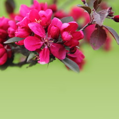 Pink Apple Blossom Border over Green