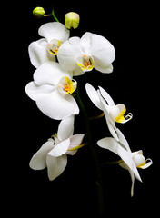 Orchidaceae Phalaenopsis. Orchid on black background.