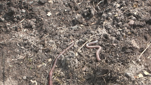 Earthworm crawling on the ground.