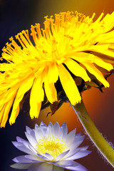 Awesome thistle & lotos  flowers