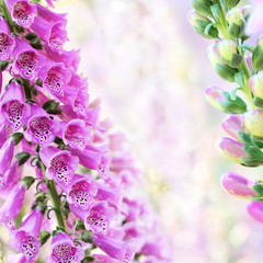 Spring summer digitalis or foxglove flowers on bokeh background