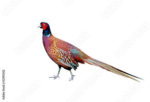 Beautiful Cock Pheasant