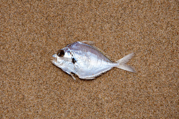Dead fish on the beach