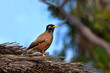 Acridotheres Tristis or Common Myna