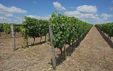 vignoble en Charentes