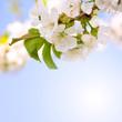 Kirschbaumblüten auf blauem Hintergrund