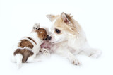 sweet chihuahua dog mother nursing her puppy