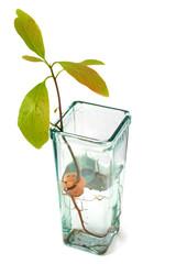 Pousse d'Avocat dans un vase (Persea americana)