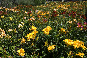 Colorful mix of daylilies in summer