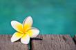 Fleur de frangipanier au bord d'une piscine