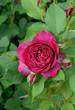 rosier de jardin