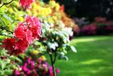 Rhododendron - Nahaufnahme