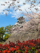 Kumamoto Castle with Sakura blossom and red flower in blue sky