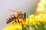 Fototapety Honey Bee