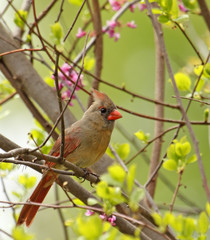 Female Northern Cardinal, Cardinalis cardinalis