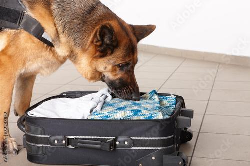 Plexiglas Hond Sniffing dog chceking luggage