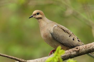 Mourning Dove (Zenaida macroura) - Ontario, Canada