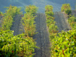 Vineyards rows in the south of France, Banyuls sur Mer, Pyrenees-Orientales, Languedoc-Roussillon