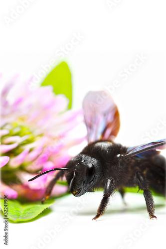 Poster abeille charpentière