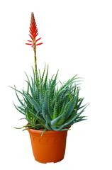 Aloès fleuri