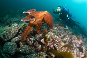 diver takes picture of giant octopus