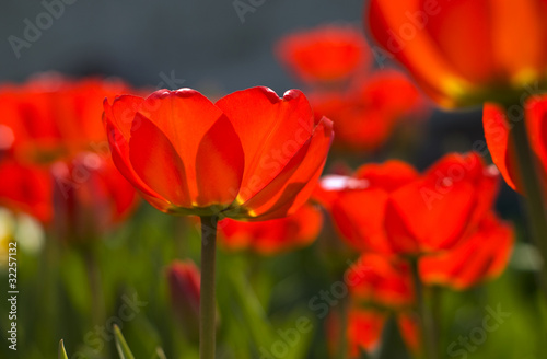 closeup of red tulips backlit