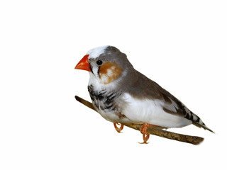 Zebra Finch isolated on white background (Taeniopygia guttata)