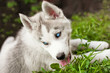 lovely blue-eyed siberian husky puppy lying on the grass