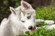 lovely blue-eyed siberian husky puppy lying on the grass