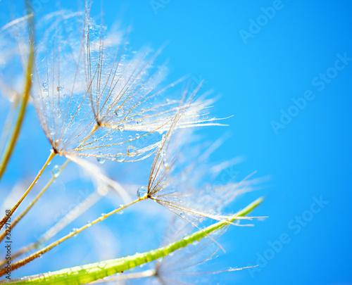 Spoed canvasdoek 2cm dik Paardebloemen en water Soft dandelion flowers