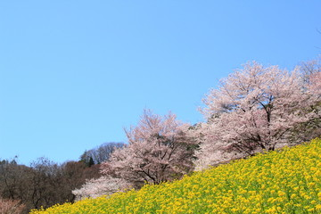 桜と菜の花 cherry blossoms and rape blossoms