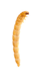 yellow meal worm