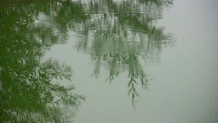 Rain drops fall in water of puddle. Tree reflection in water.