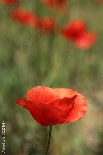 Obraz na Plexi Coquelicot dans une prairie