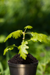 1-month seedling oak