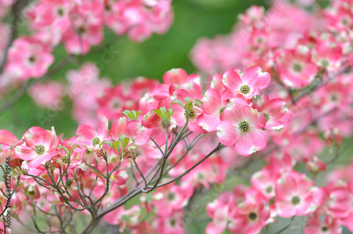 Pink Flowering Dogwood, Tree Detail