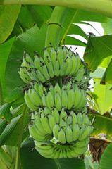 A Bunch Of Green Banana Hanging On A Banana Tree