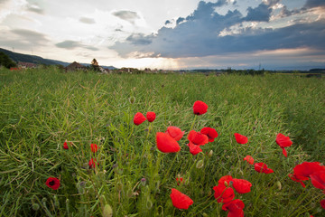 Red Wild Flowers, Wheat Farm and Cloudscape