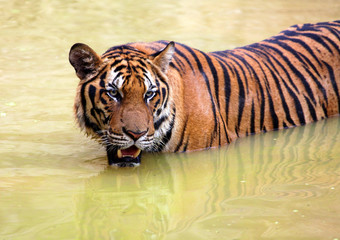 tiger in muddy water