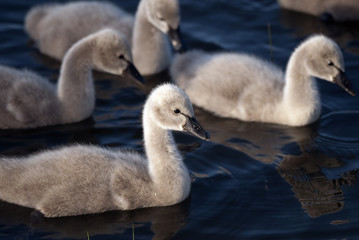 Three black swan cygnets swimming in beautiful light