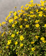 Husarenknöpfchen, Sanvitalia procumbens, Sommerblumen