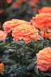 バラ ピースキーパー (新宿御苑)