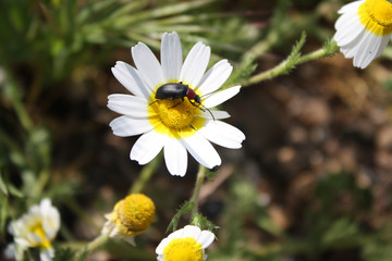 Flower marguerite Cantharis fusca