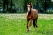 Hannoveraner Pferd